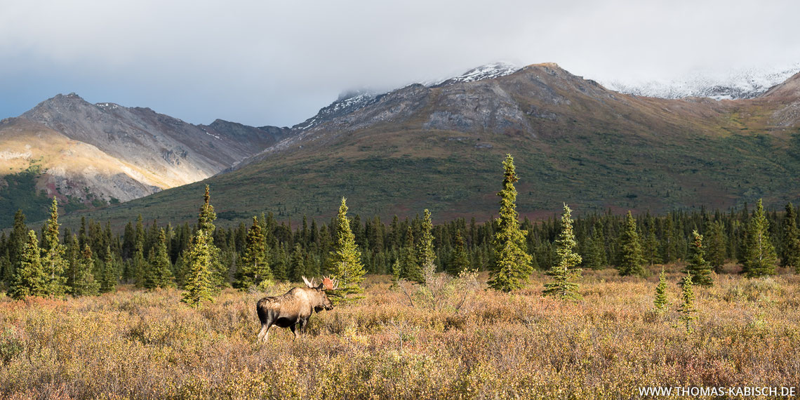 Elch im Denali Nationalpark in Alaska