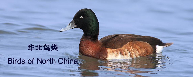 Birds of North China 华北鸟类