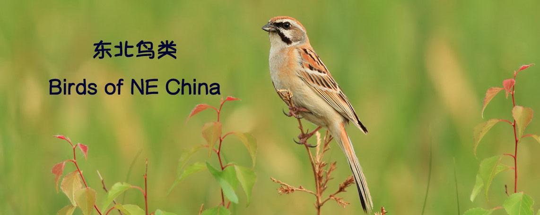 Birds of NEChina 东北鸟类