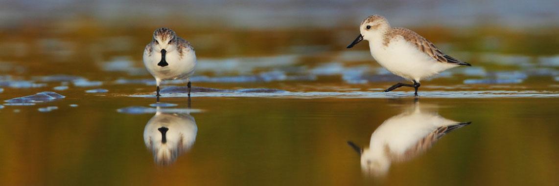 勺嘴鹬  Spoon-billed Sandpiper  © 陈林 Chen Lin