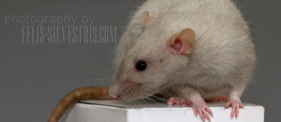 Dumbo Ratte aus reiner Dumbo-Linie