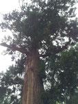 大樹のようにすくすくと