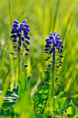 Blau Grün Pflanze Blume