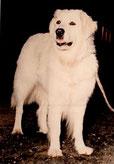 valeries-hundewelt Kuvasz Jule