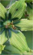 Alcaloides Veratrum