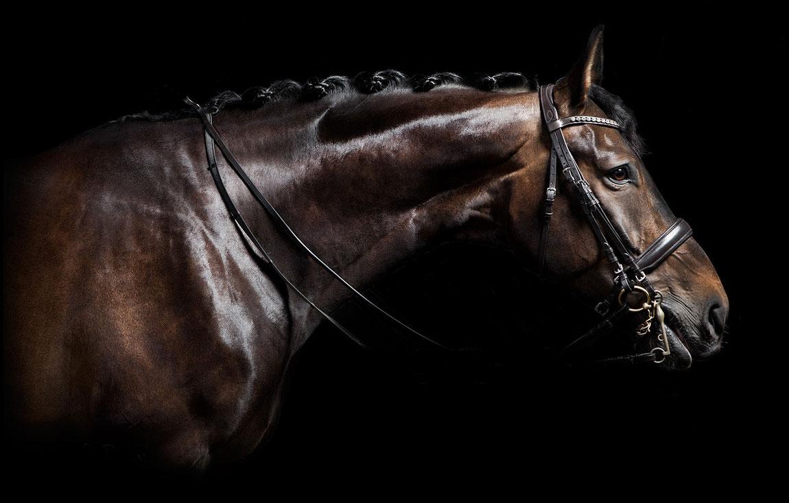 Dunkelbraunes Pferd, Hengst Holsteiner, Hannoveraner im Fotostudio mit Kandarre und glänzendem Fell