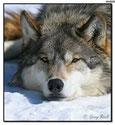 Heiko Anders - Wolfsmonitor