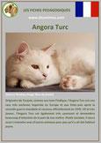 fiche chat identite race angora turc origine comportement caractere poil sante