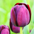 Tulpen - Tulipa
