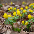 Weitere Frühblüher: Winterlinge, Scilla, Traubenhyazinthen,  Scheinscilla, Allium