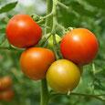 Gemüse-Saatgut