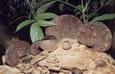 Auricularia auricola judae
