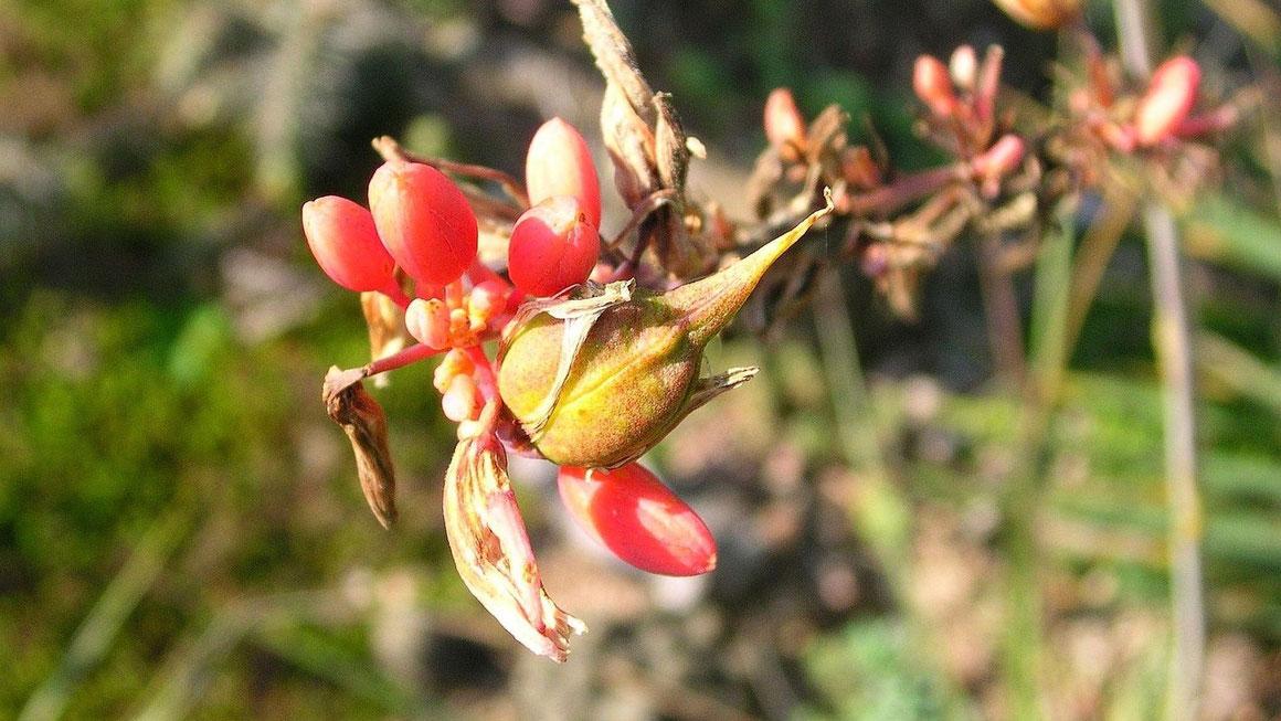 Bidl Blüten und Samenansatz an Hesperaloe parviflora (c) Thomas Boeuf