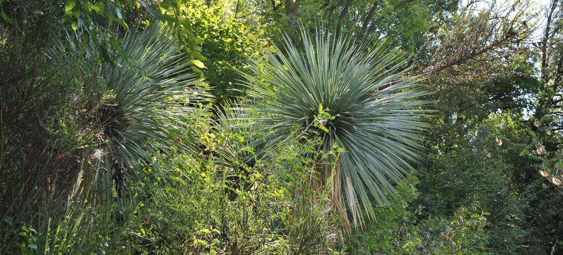 Bild Yucca rostrata Quatro Cienegas/MEX (c) Bertus Spee