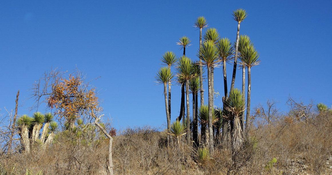 Bild Yucca mixtecana • Tehuacan Valley • Zapotitlan Salinas • Puebla (c) Bertus Spee