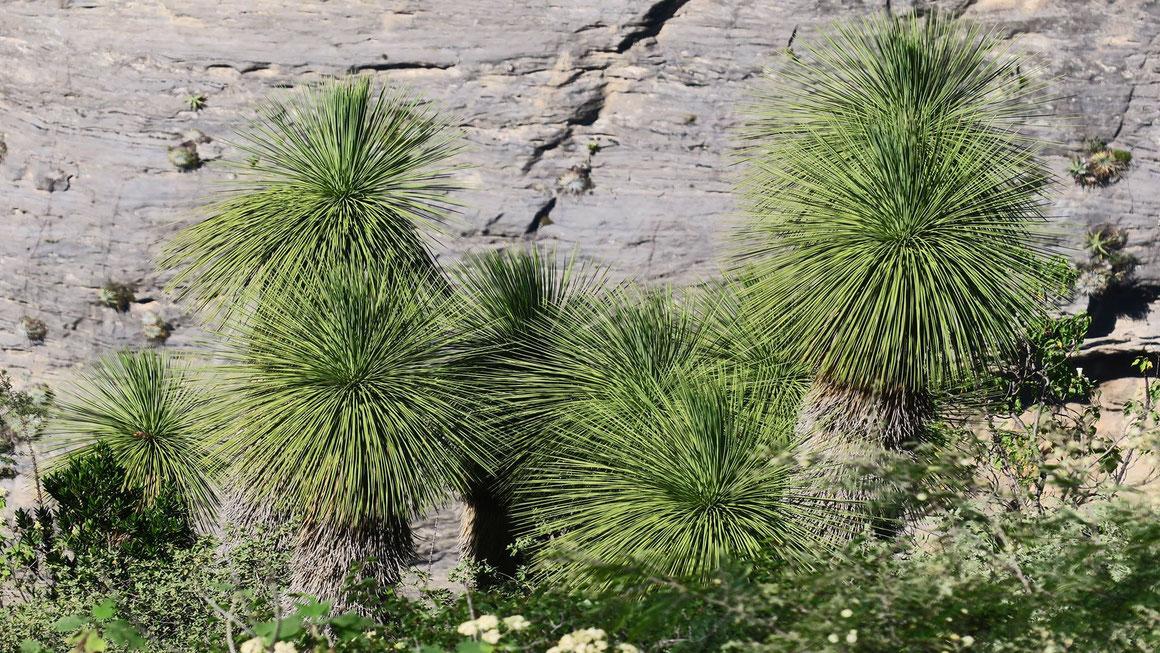 Bild: Yucca queretaroensis (c) Roland Smeets