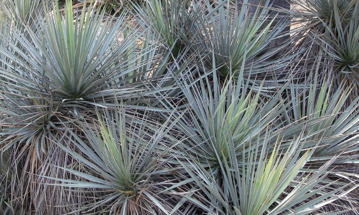 Bild Yucca neomexicana-Gruppe Huntington (c) Dr. Christian Zolles