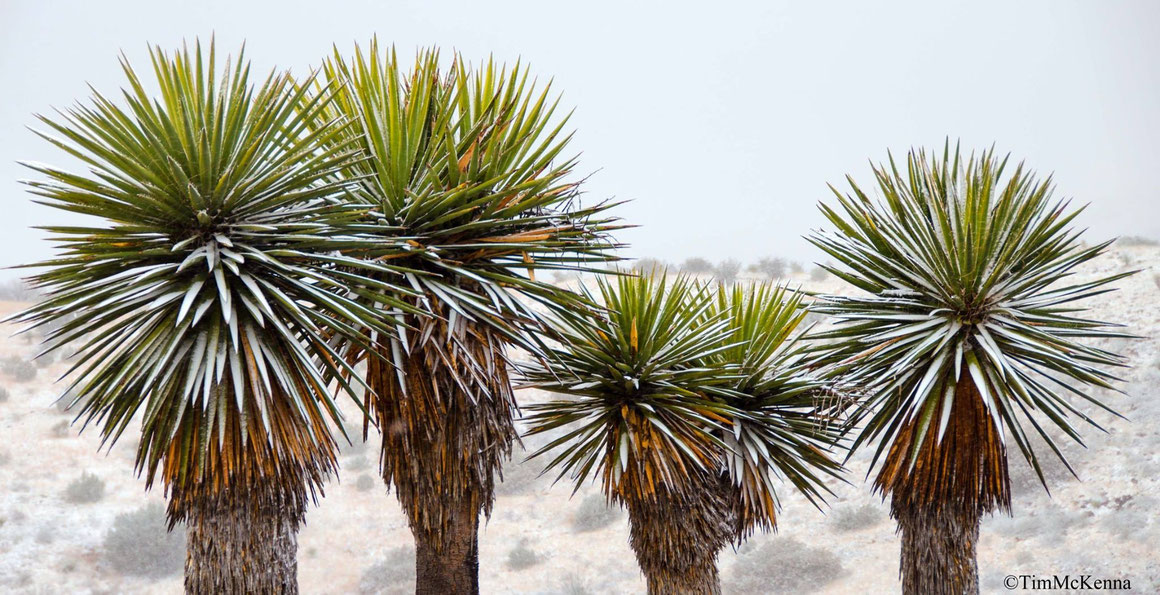 Bild: Yucca faxoniana | Big Bend (c) Tim McKenna
