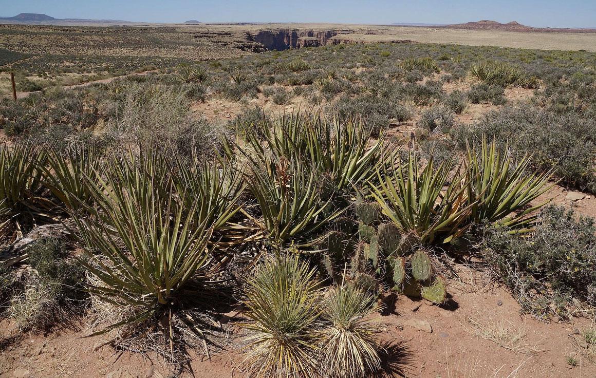 Bild Überschneidung von Yucca baccata und Yucca baileyi - Populationen (c) Horst Faber