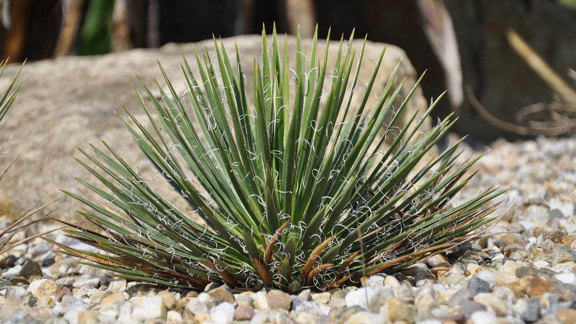 Bild Yucca nana in Kultur in Niederösterreich