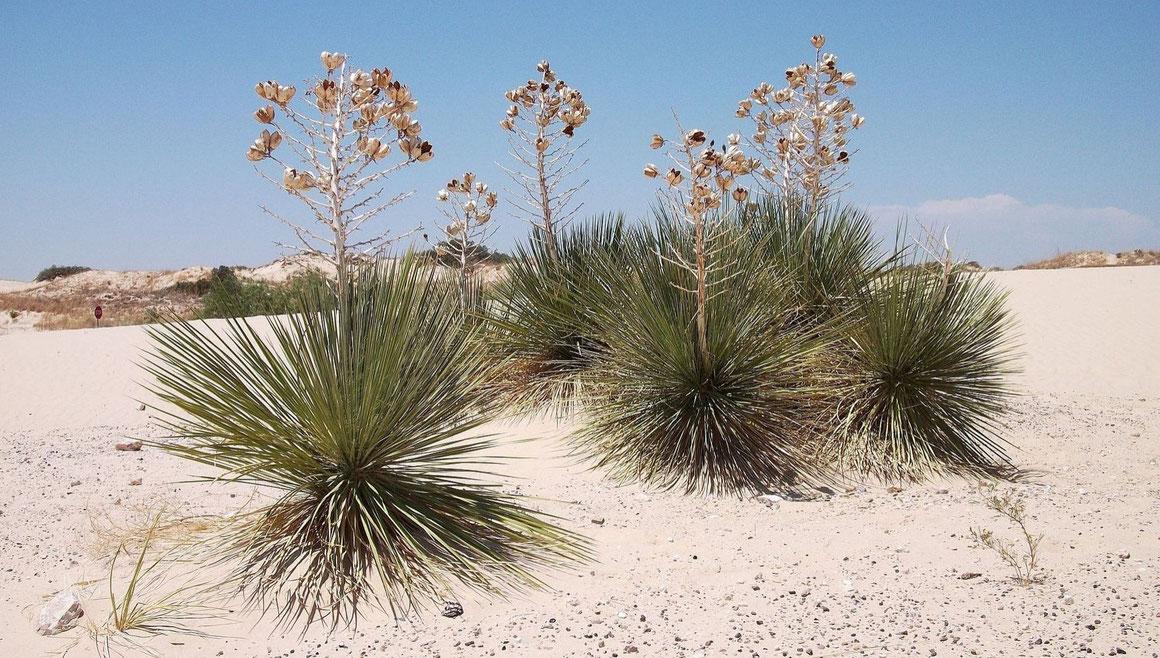 Bild: Yucca campestris • Monahans Sandhills State Park • Ward County/TX (c) David Richardson