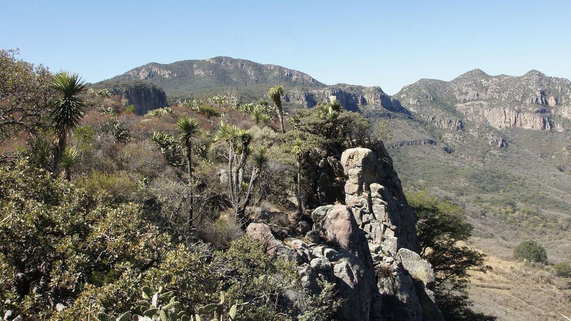 Bild Yucca jaliscensis Jaltice de Arriba, (Calvillo) Aguascalientes (c) Bertus Spee