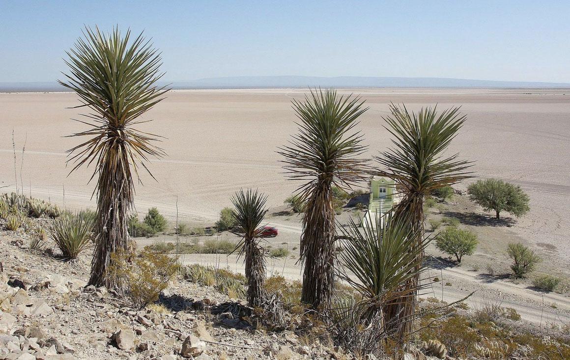 Bild Yucca torreyi • Mala Noche • Desierto de Mayran • Coahuila (c) Bertus Spee