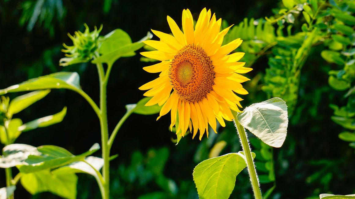 Sonnenblumen (Helianthus annuus) machen sich mit ihren offenherzigen Blütengesichtern viele Freunde.