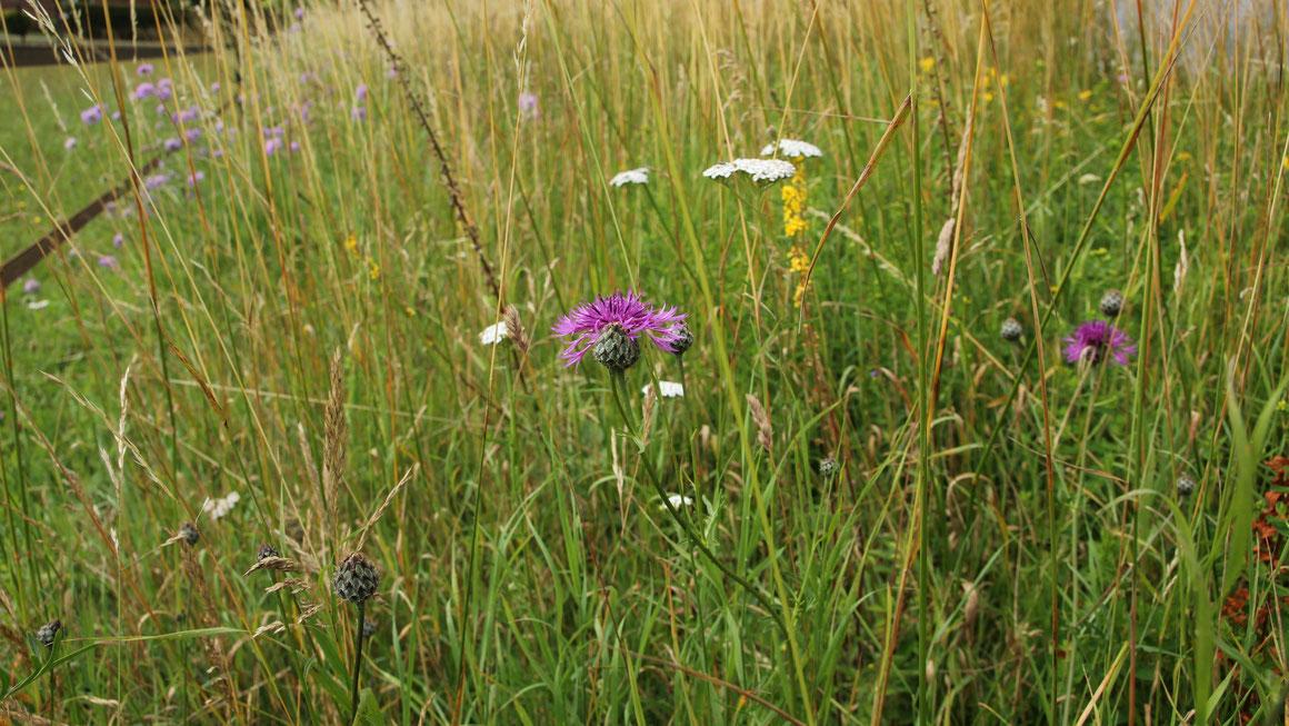 Ökologisch wertvolle Wegränder sind nicht immer bunt. Auch viele Gräser und unscheinbare Pflanzen sind von großer Wichtigkeit für die Artenvielfalt. Foto: Naturschutzzentrum