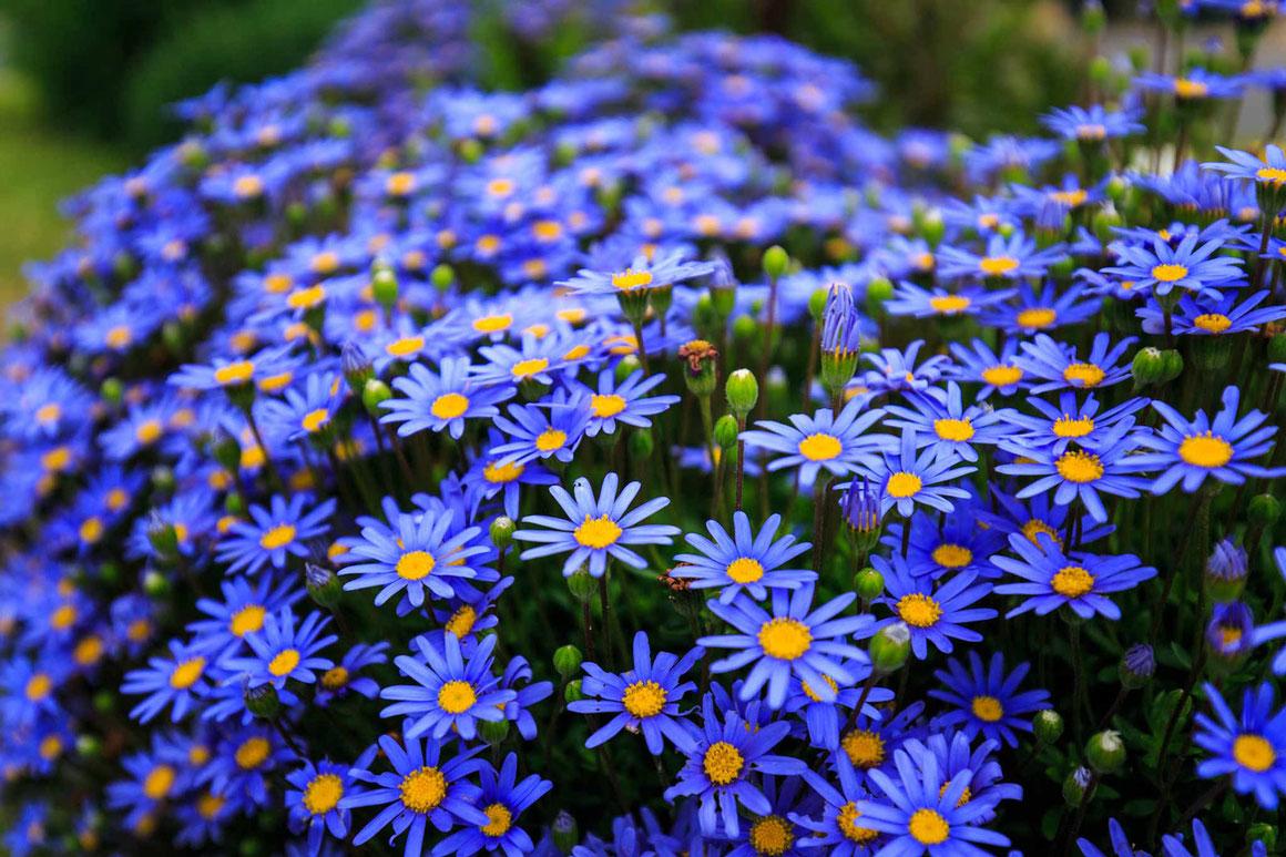 Nous plantons giroflées, pâquerettes et pensées pour avoir des fleurs tôt dans la saison