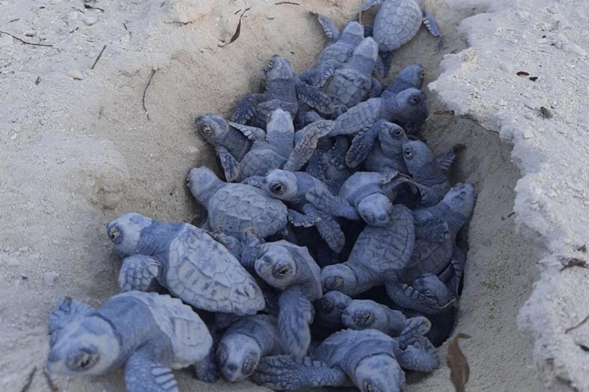 Ocean Cay MSC Marine Reserve Unechte Meeresschildkröten