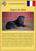 fiche chien race dogue du tibet origine caractere comportement poil sante couleur