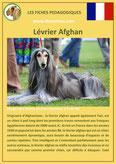 fiche chien pdf levrier afghan comportement origine caractere poil sante