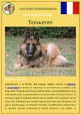 fiche chien pdf berger belge tervueren comportement origine caractere poil sante