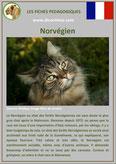 fiche chat race norvegien comportement origine caractere poil sante