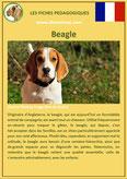 fiche chien identite race beagle origine comportement caractere poil sante