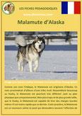 fiche chien race malamute d'alaska origine caractere comportement poil sante couleur