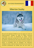 fiche chien pdf siberian husky comportement origine caractere poil sante