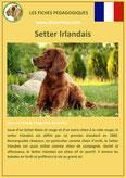 fiche chien pdf setter irlandais comportement origine caractere soin poil