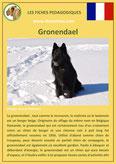 fiche chien pdf berger belge gronendael comportement origine caractere poil sante