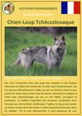 fiche chien race chien loup tchecoslovaque origine caractere comportement poil sante couleur