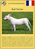 fiche chien race bull terrier origine caractere comportement poil sante couleur