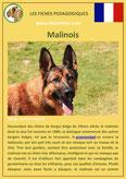 fiche chien pdf berger belge malinois comportement origine caractere poil sante
