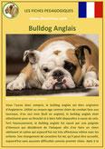 iche chien pdf bulldog anglais bouledogue comportement origine caractere soin poil