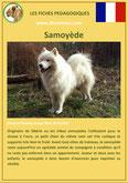fiche chien pdf samoyede origine caractere comportement poil sante