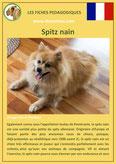 fiche chien pdf spitz nain comportement origine caractere poil sante