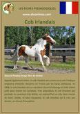 fiche cheval chevaux  identite race cob irlandais origine comportement caractere robe sante