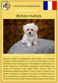 fiche chien identite race bichon maltais origine comportement caractere poil sante