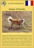 fiche chien identite race berger d'islande origine comportement caractere poil sante