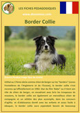 fiche chien identite race border collie origine comportement caractere poil sante